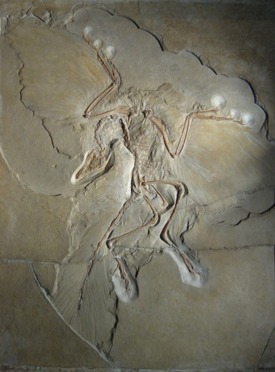 Berlin Specimen of Archaeopteryx