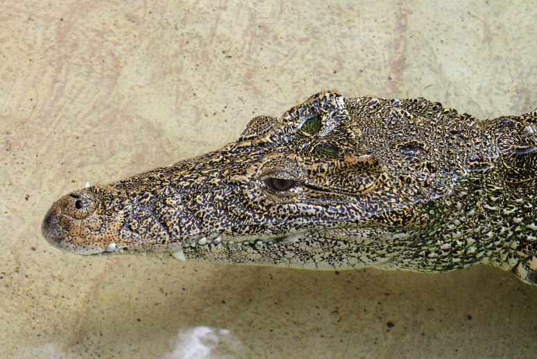 Cuban crocodile in a Miami zoo. By Alexf Wikimedia Commons
