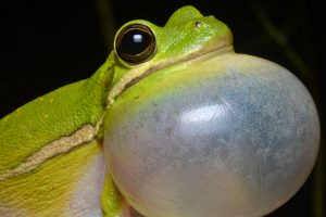 Hyla cinerea. Photo by Geoff Gallice, via Wikimedia Commons. Distributed under a CC BY 2.0 license.