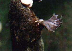Foot spur! Copyright (c) 1995 E.Lonnon Wikimedia Commons