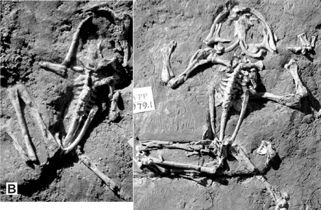 Liaobatrachus from the Early Cretaceous of China
