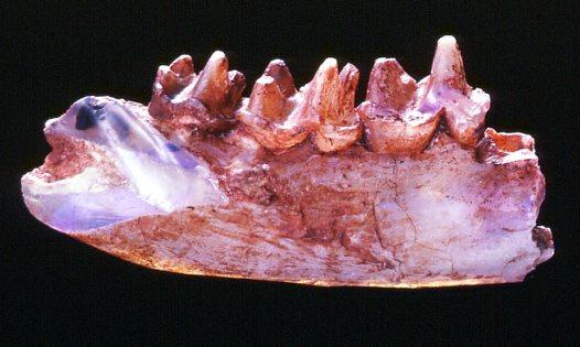 Steropodon opalised jaw. (c) Carl Bento Australian Museum