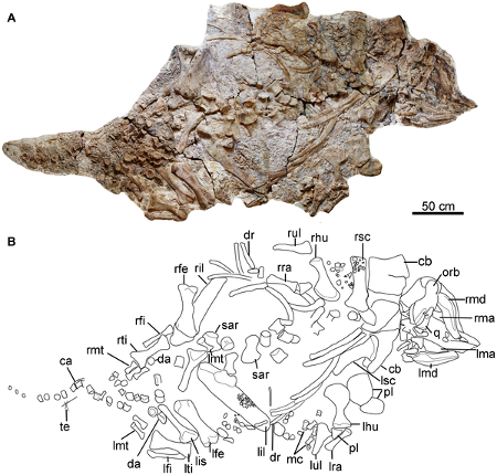Skeleton of the ankylosaur dinosaur Chuanqilong chaoyangensis, with photo and line drawing. CC-BY, from Han et al., 2014.