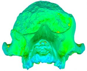 False-color image of the fossil baboon Papio angusticeps, from Adams et al. 2015. CC-BY.