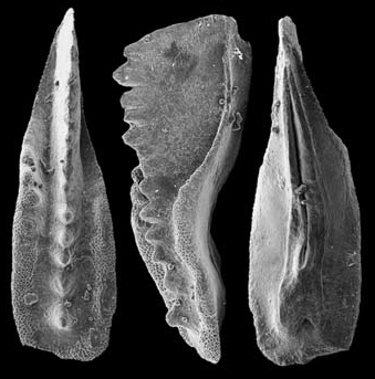 Metapolygnathus praecommunisti