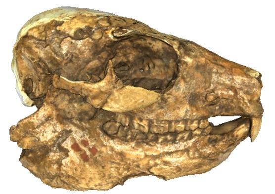 Skull of the fossil hyrax Procavia antiqua, from Adams et al. 2015. CC-BY.