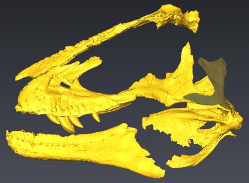Partial skull of the tyrannosaur Lythronax.