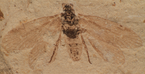 The Jurassic moth Mesokristensenia sinica