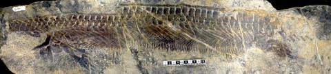 A headless wonder--the skeleton of Parahupehsuchus.