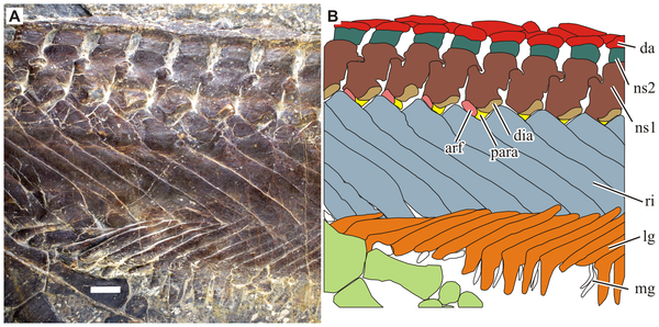 """Close-up of the rib cage in Parahupehsuchus; note how the ribs (in blue-ish gray, labeled """"ri"""") run into each other."""