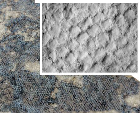 Scales of an ancient acanthodian fish, Nerepisacanthus, showing the fossil in full-color and the counterpart coated to enhance detail. CC-BY, from Burrow and Rudkin, 2014.