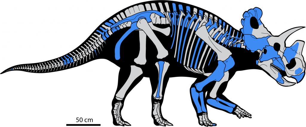 Skeleton of Wendiceratops